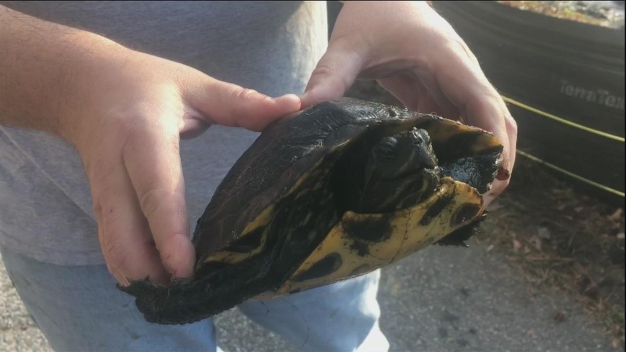 Volunteers rescue turtles on Wilmington Island