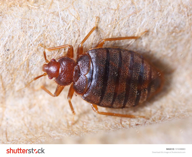 Bed Bug_81154