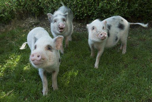 THREE LITTLE PIGS ZOO_290454
