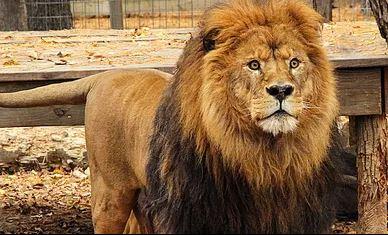 lion_302762
