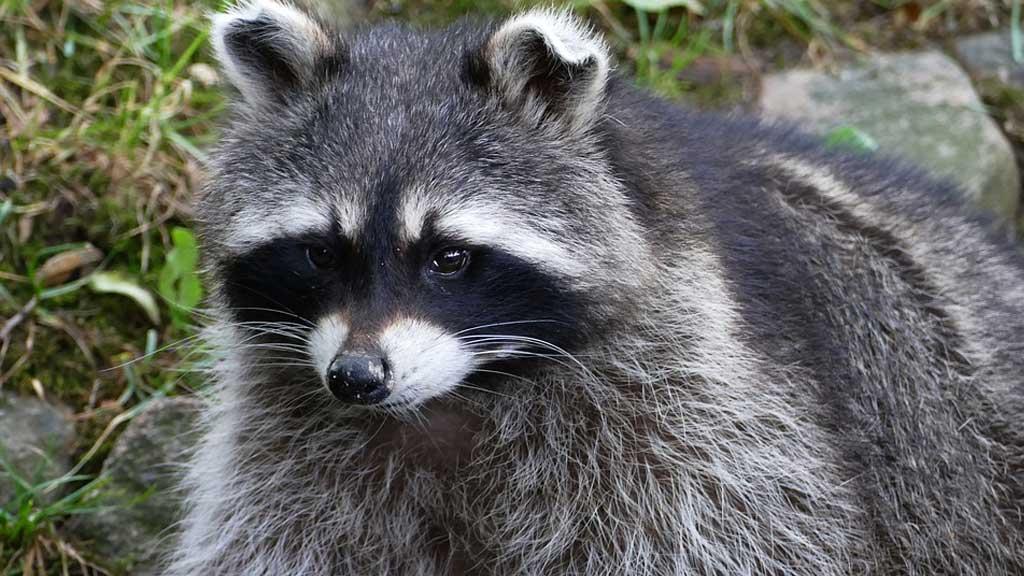 raccoon_400789