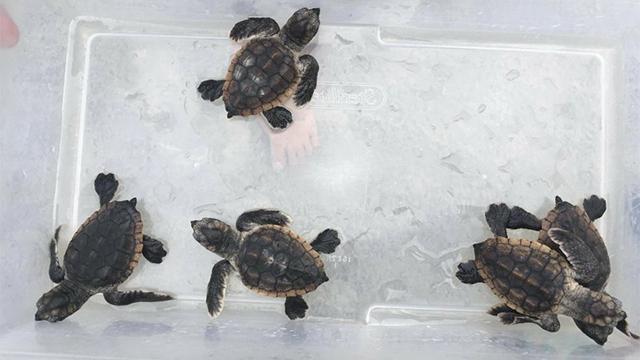 sea-turtles_1532617328161_49674784_ver1.0_640_360_1532653860565.jpeg