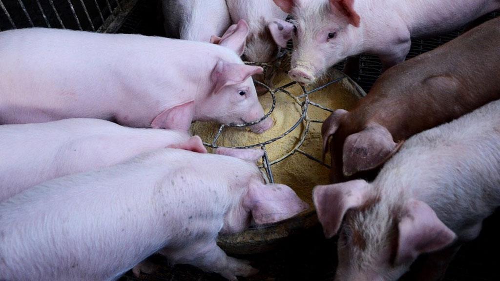 pigs_1537371321196.jpg