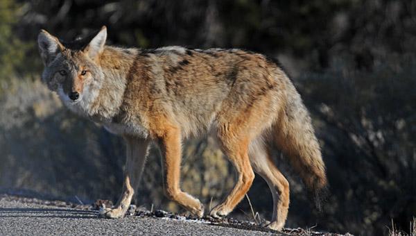 coyote_494172