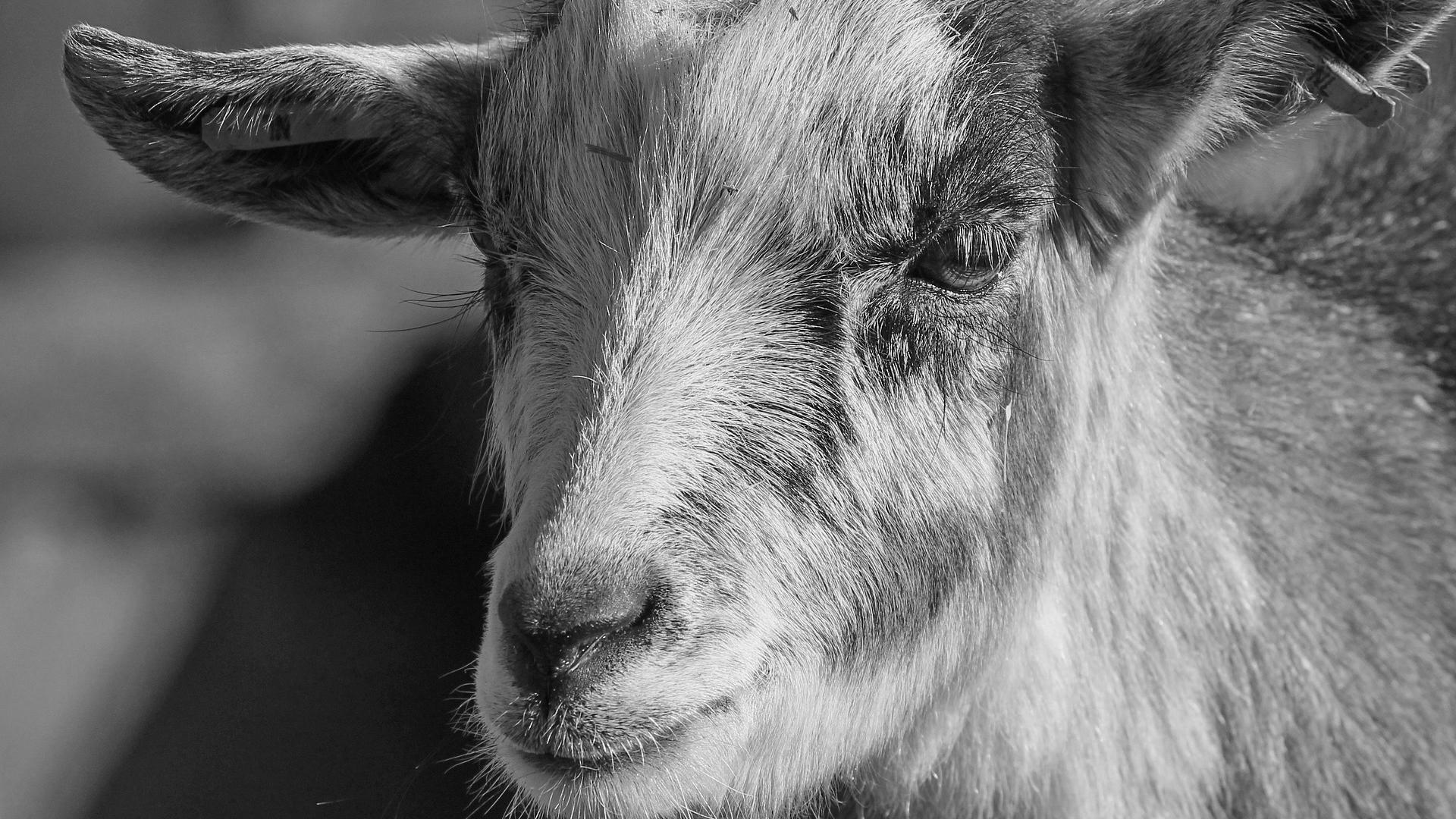 goat generic rabies generic goat rabies _1552344648422.jpg.jpg