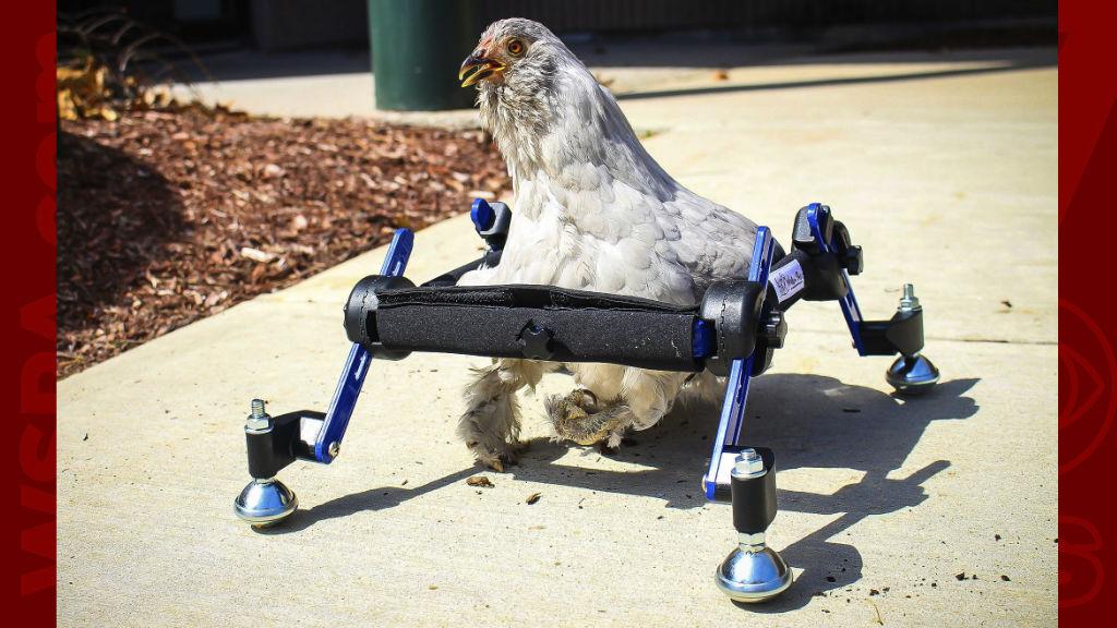 Disabled chicken AP_1555340512086.jpg.jpg