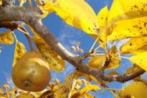 Pears - Growing Guide