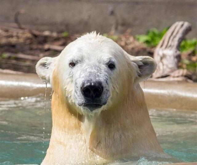 polar bear_114917