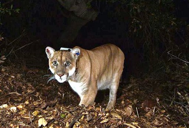 mountain lion_102705