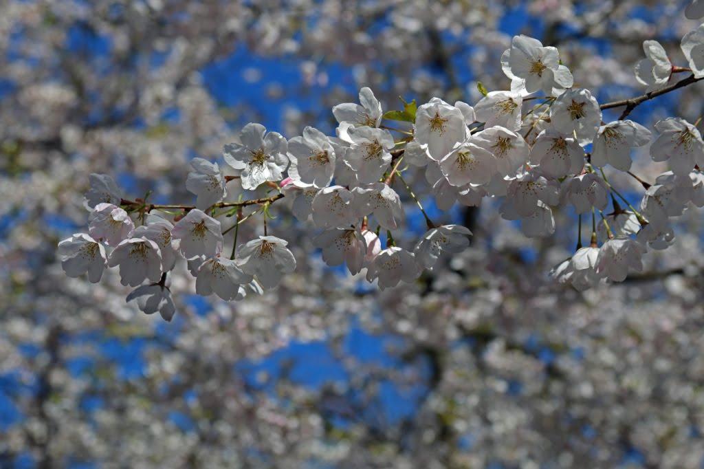 Cherry Blossom Connecticut_420511