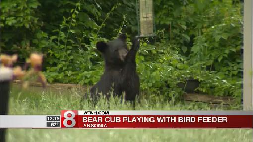 5_31_17 ansonia black bear_461746