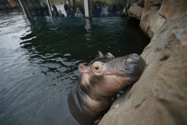 Fiona the hippo_613649