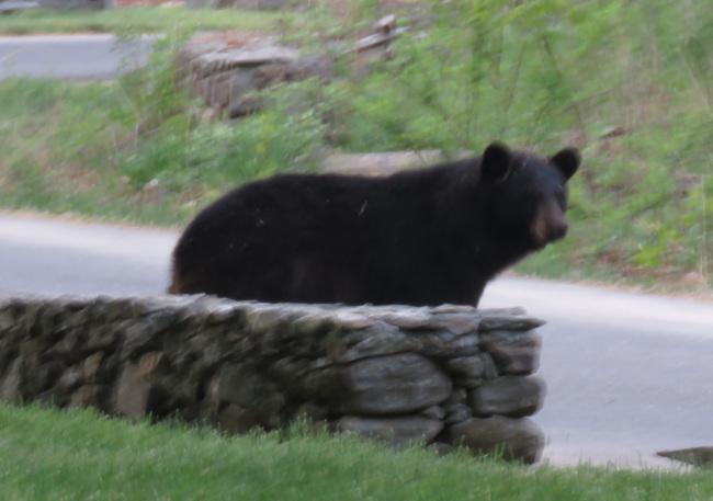 black-bear_124840