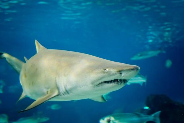 sand tiger shark_138088