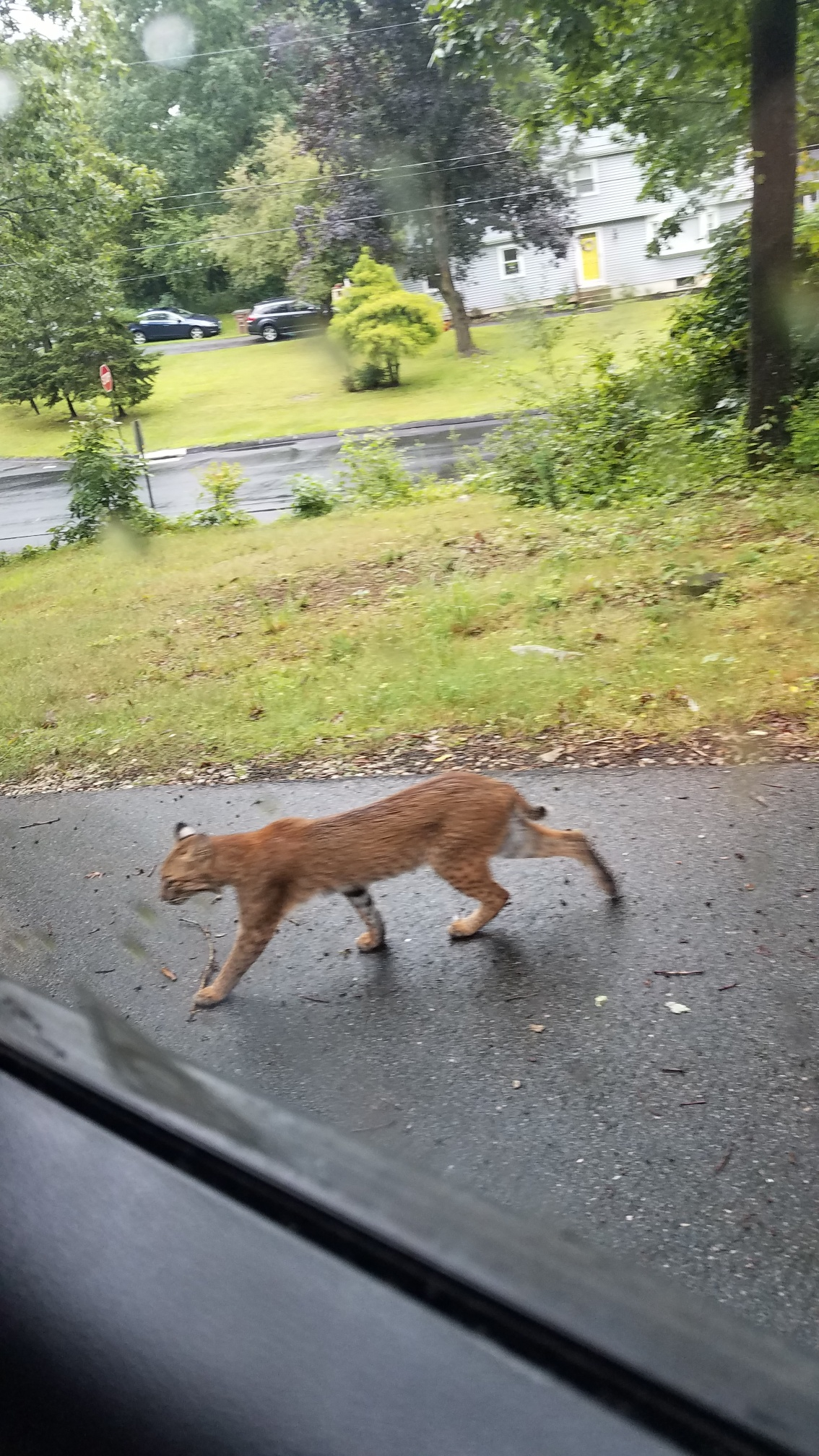 8_19_18 East Lyme Bobcat.jpeg
