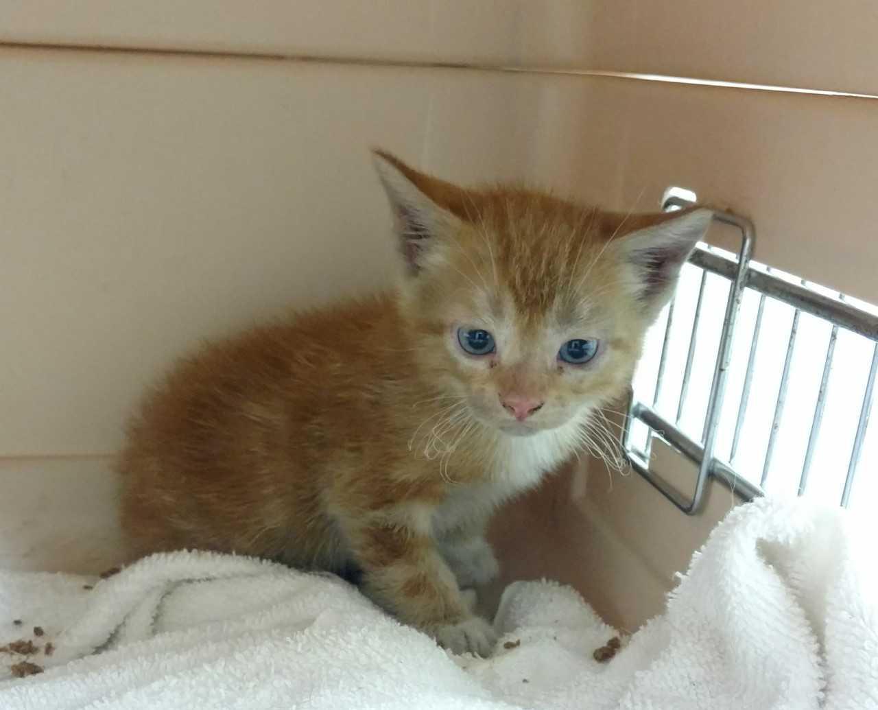 Kitten Rescued from a Car in Hamden