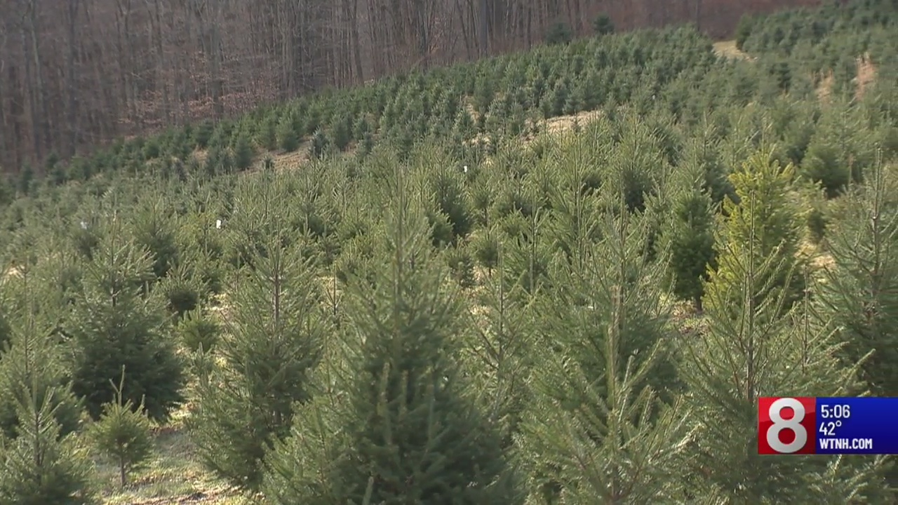 CT Christmas tree businesses not impacted by nationwide shortage