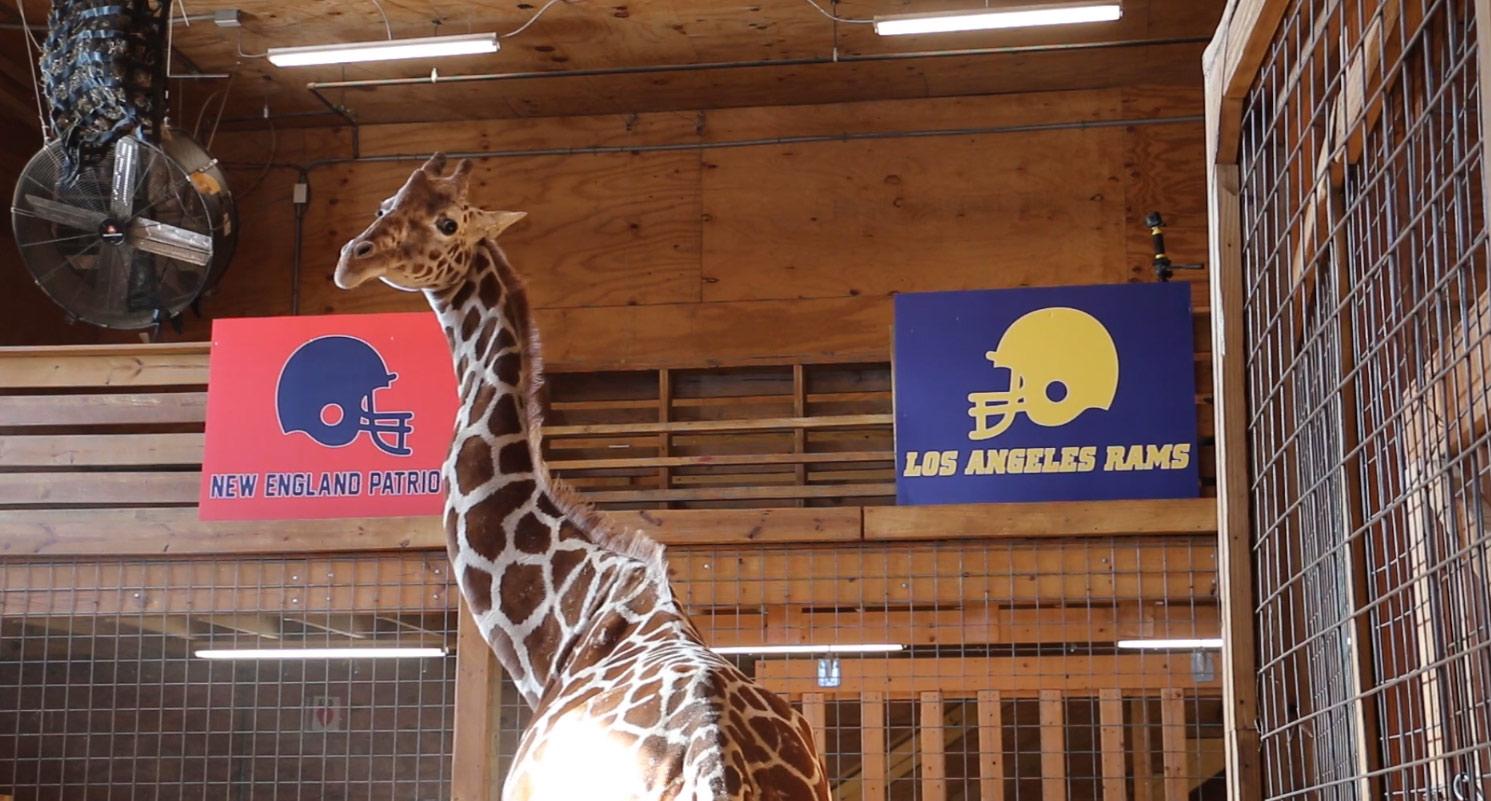 2019-01-31 April the Giraffe_1548959599243.jpg.jpg