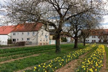 Auf dem Blumenfeld werden neben vielen Tulpen auch Narzissen angepflanzt.