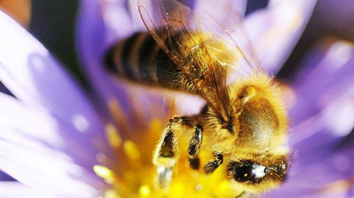 Wo Honigbienen zu Hause sind