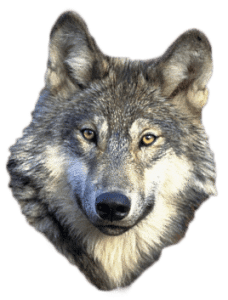 Wolves/dogs make us human