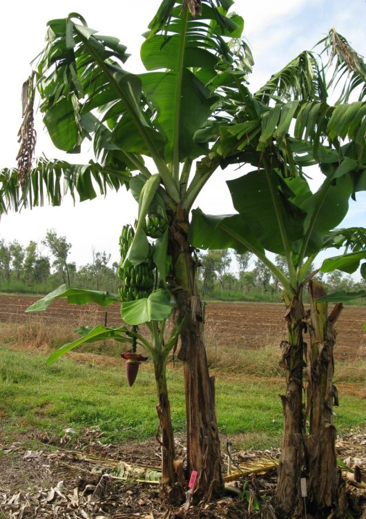 The TR4-resistant RGA2-3 Cavendish banana plant in the field.