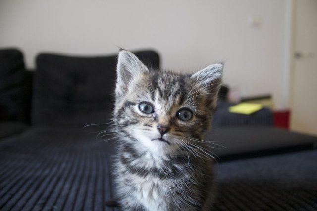 cute,kitten,face,cooking,gluten free, adorable, bengal, cat