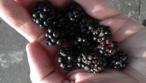 Blackberry_picking