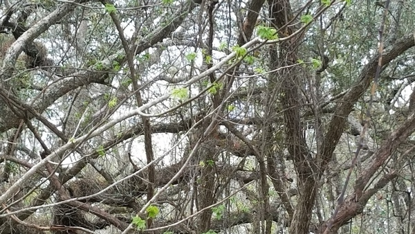 Green leaves in Suwannee River State Park
