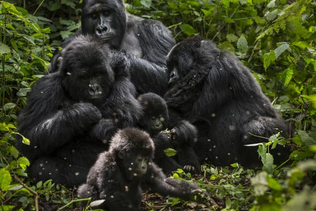 Top 10 Facts About Mountain Gorillas Wwf