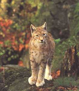 lince2