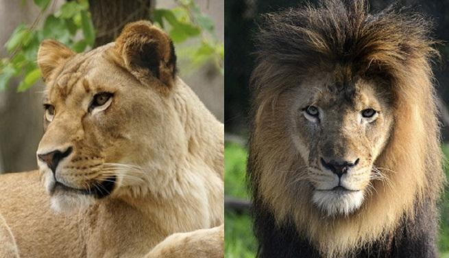 lions together_1539978720464.jpg-873774424.jpg