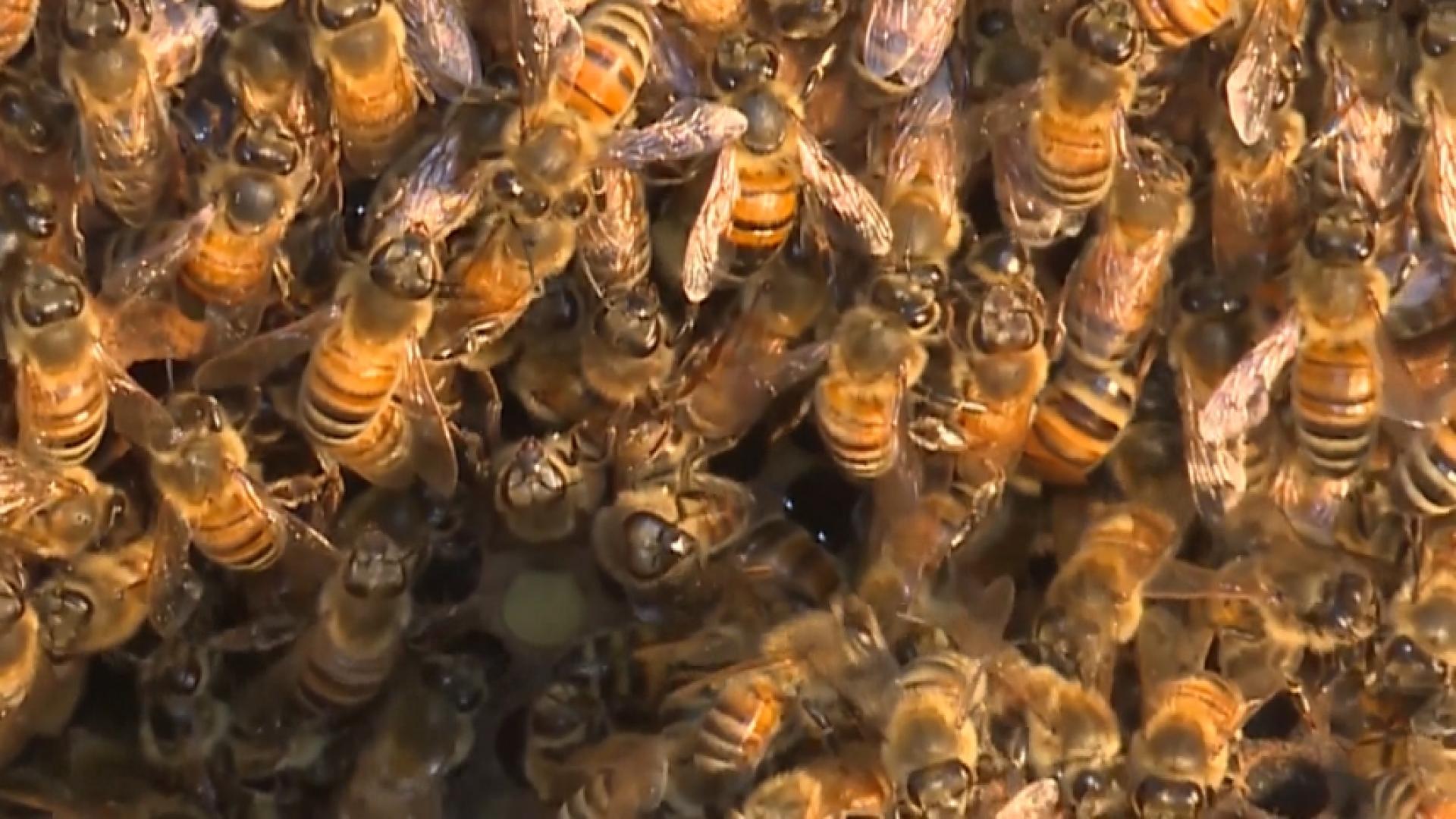 NC_bees0504_1920x1080_1554825580069.jpg