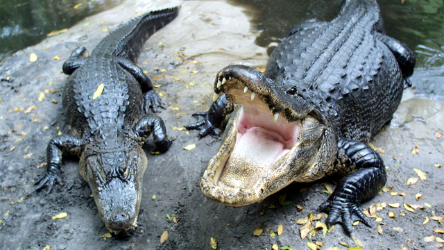 alligators_1554150162342_80174721_ver1.0_640_360_1554199688486.jpg