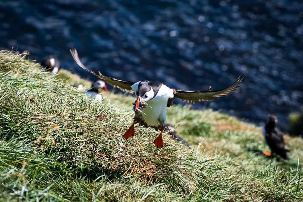Puffins at Borgarfjordur Eystri Iceland