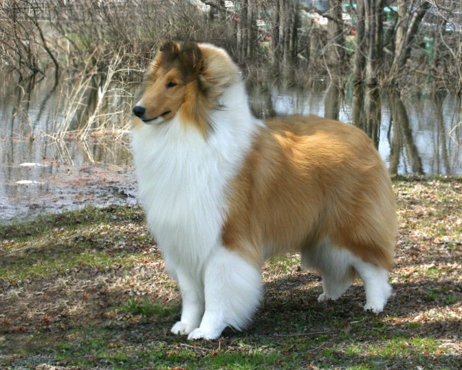Sable & White Collie - Wyndlair Aurora Borealis