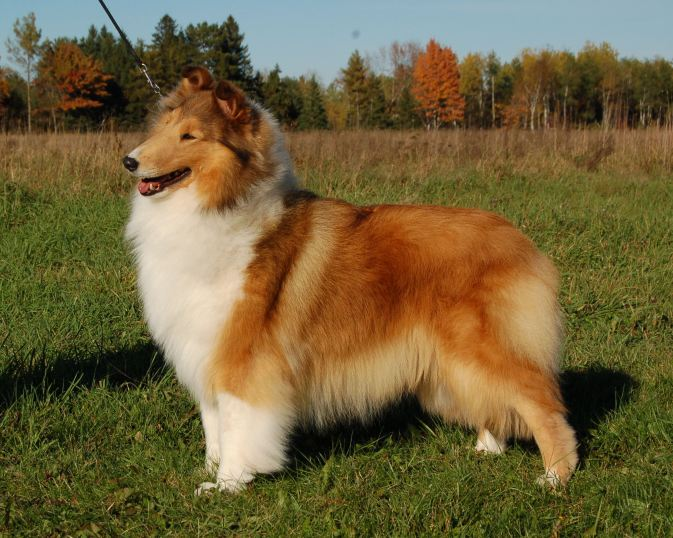 Sable Collie - Wyndlair Madison Avenue