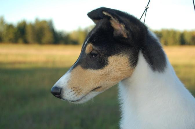 Ch. Wyndlair Classique Enchanted - Tri-Color Smooth Collie puppy