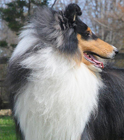 Ch. Wyndlair Cherokee Exclamation - Tri-Color Rough Collie Stud Dog