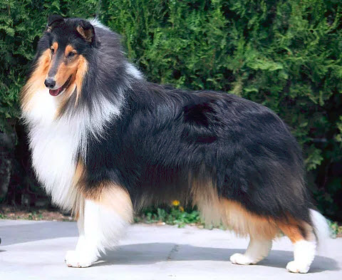 Wyndlair Dallinaire American Dream - Tri-Color Rough Collie