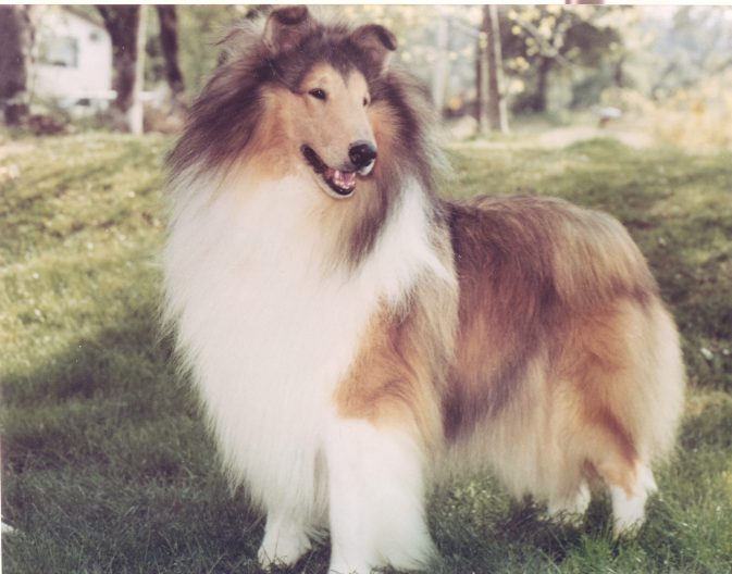 Ch. Edenrock Strike It Rich - Sable Rough Collie - California