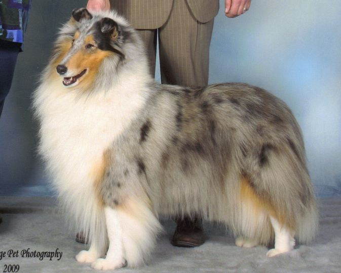 Blue Merle Collie - Ch. Twin City Wyndlair Anthem - CC of Minnesota