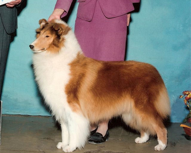 AKC Sable Collie - Ch. Wyndlair Island Vacation - Herding Group 1