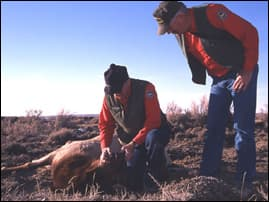 Wyoming game wardens inspect a diseased elk, 2004. <br>Photo courtesy of Wyoming Fish & Game Dept.