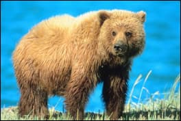 The Grizzly Bear.<br> Re-districted out of endangered status?