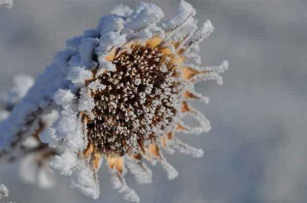 Showy Snowy Sunflower - Jenn Geringer