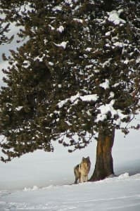 A wolf stands under a tree in Yellowstone National Park. Animals often congregate at lower elevations in winter meaning they are often easier to spot from the road
