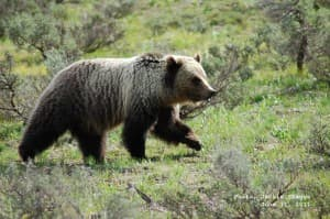 Don't forget to carry your bear spray on your next outing. Grizzly bears are emerging from hibernation. (Photo by Jackie Skaggs/Grand Teton National Park)