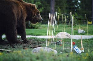 A bear at the Grizzly and Wolf Discovery Center tests an electric fence. (Photo Courtesy John Gookin)