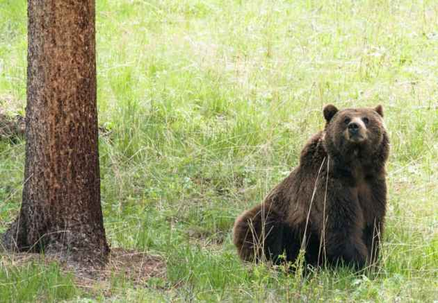 Grizzly bear delisting